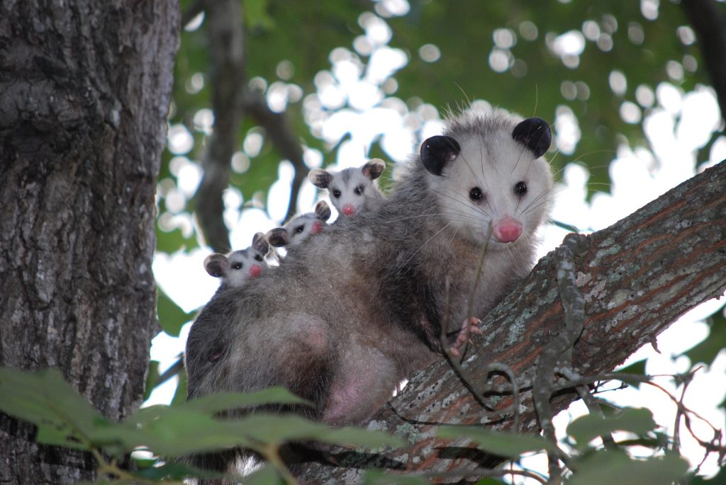 This is a possum!